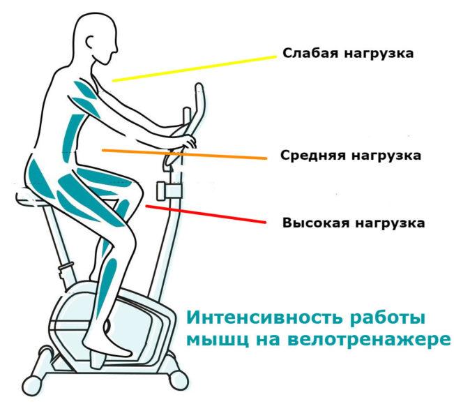 Интенсивность работы мышц на велотренажере